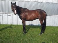 Fun, 16.2 gelding looking for a home Picture