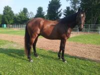 Solid, sound 4 year old gelding.  Picture